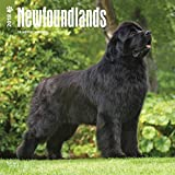 Newfoundlands 2018 12 x 12 Inch Monthly Square Wall Calendar, Animals Dog Breeds (Multilingual Edition)