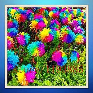 200 SEMILLAS DAISY crisantemo del arco iris de la flor rara flor al aire libre para la planta de la flor del jardín de DIY