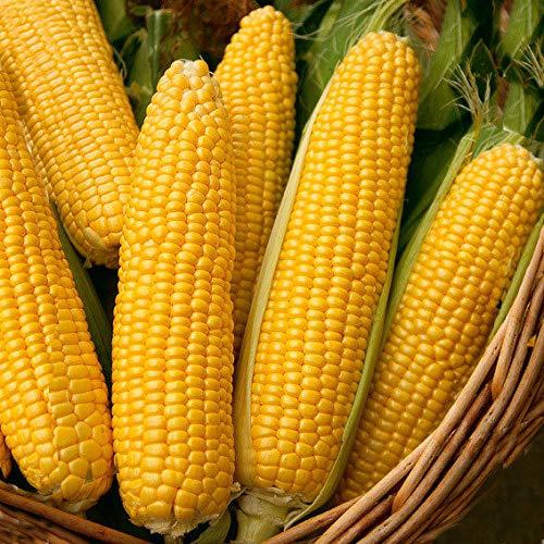 Caiuet Garden-10 Pcs Sweet Corn Corn Seed-Proof Corn Variety Vegetable Seeds Hardy Perennial for Vegetable Garden