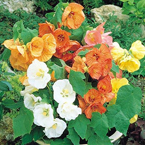 Abutilon Bellevue Mix Flower Seeds (Abutilon Hybridum) - Bellevue Stores
