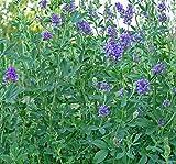 Alfalfa- 500 Seeds