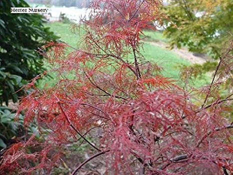 Laceleaf Japanese Maple Red Filigree Lace 1 Year Graft