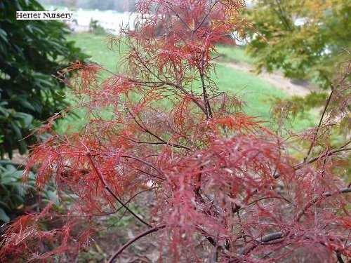 (Laceleaf Japanese Maple 'Red Filigree Lace' - 1 Year Graft)