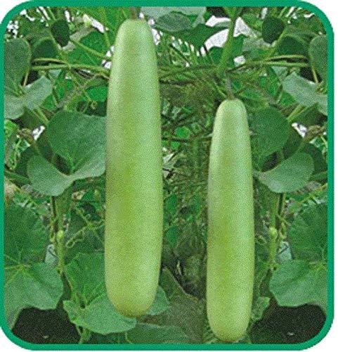 100: Chinese Thai med-Long Edible Bottle Gourd Seeds Asian Indian opo Squash kodu (Edible Gourds)