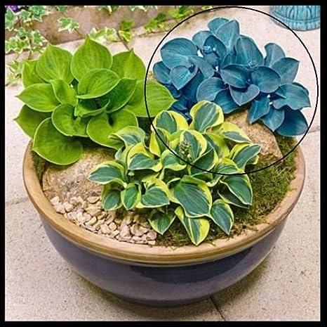 Amazoncom Mini Blue Mouse Ears Hosta Live Plant Rare Flower