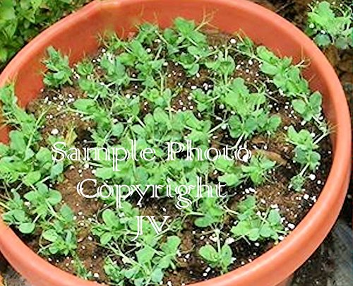 Tom Thumb Pea 50 Seeds Sweet Round Pods Small for containers All Year Gardening Vegetable Seeds! NON GMO Pisum sativum Dwarf Pea (50) (Tom Thumb Pea Seeds)