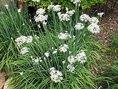 Gigantic Chives - 20 Seeds - Allium schoenoprasum