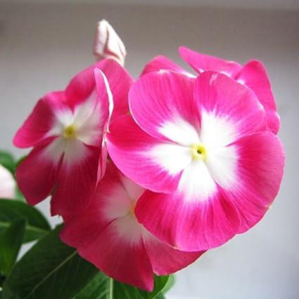 Amazon afco 20pcs madagascar periwinkle flower seeds afco 20pcs madagascar periwinkle flower seeds catharanthus roseus plant home wonderful gardening gifts pink mightylinksfo