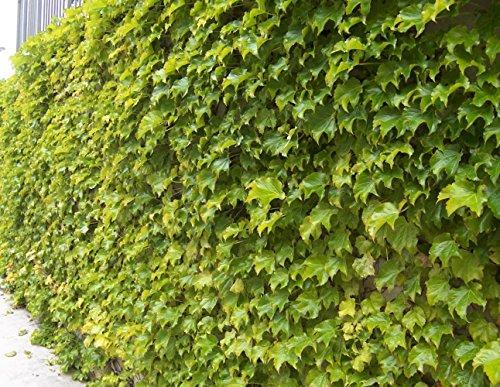 """Fenway Park Golden Boston Ivy Plant - Parthenocissus - 2.5"""" Pot"""