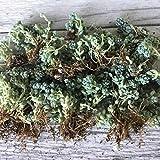 succulent ground cover Cal Summer Garden 100+ Sedum Dasyphyllum, Blue Tears, Corsican,Sedum Burnatii, Unrooted Cuttings, Ground Cover Stonecrop Succulents (Blue Green)