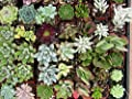 "Jmbamboo - Collection of 5 Plants - 2""pot Succulents Easy Growth by jmbamboo"