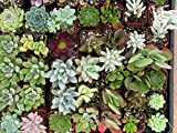 Jmbamboo - Collection of 5 Plants - 2''pot Succulents Easy Growth