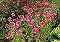 Echinacea 'Secret Passion' Flower Seeds, 100 Seeds / Pack, New Coneflower 100% True Variety KK088