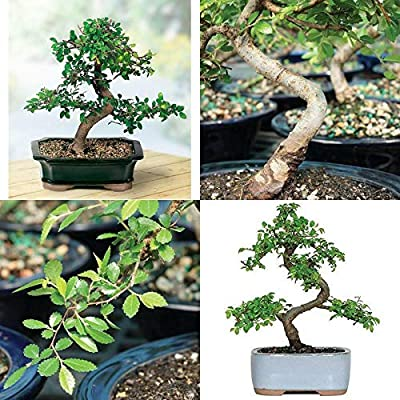 AchmadAnam - Live Plant Chinese Elm Bonsai Tree Plant 5 Year Old Outdoor Interior Decor Best Gift: Garden & Outdoor