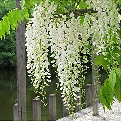 Planta de guía – Glicina de China blanca – Wisteria sinensis – grande planta, altura 1.5 M: Amazon.es: Jardín