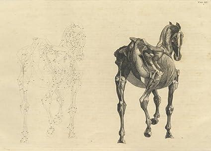 Vintage de anatomía de caballo de visión trasera de la anatomía del ...