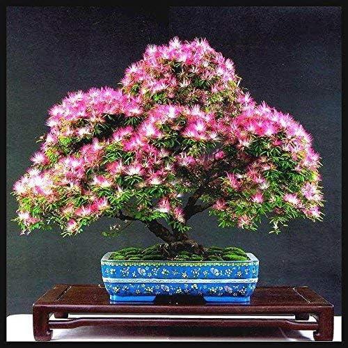 Amazon Co Jp 3 Nerium Indum Milk Flowers Nerium Oleander Seed Home Garden Decor Plants Funny Bonsai Flower Pot Planters 50pcs 3 Kitchen Housewares