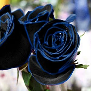 Daisy Garden Blue Purple Black Rose Seeds Perennial Plant Flower Seeds Rare Sundry Rose Petals