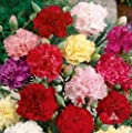400 Carnation Seeds - Chabaud Mix - Pink, purple,Red, white and Yellow.