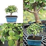 Bonsai Jade Brussel's Plant Garden Outdoor Tree Best Gift New