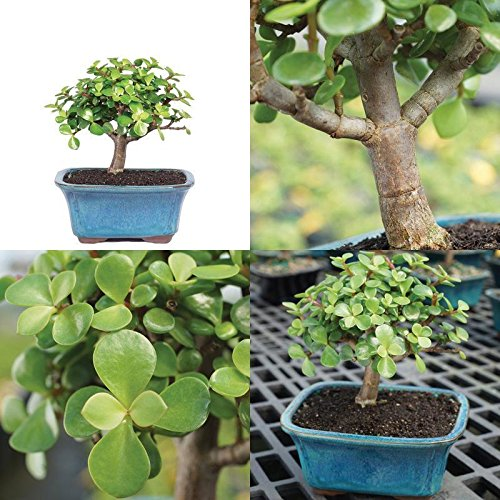 Bonsai Jade Brussel's Plant Garden Outdoor Tree Best Gift New