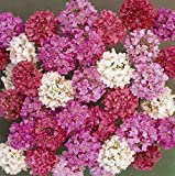 Outsidepride Armeria Joystick Flower Seed Mix - 200 Seeds