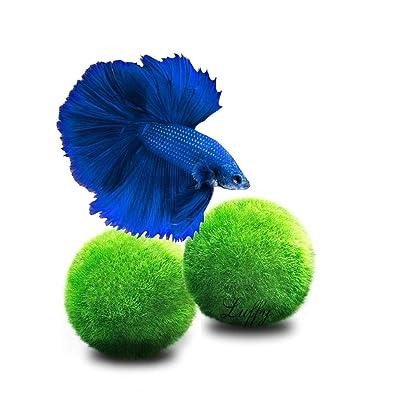 Luffy Doubletail Betta Moss Balls