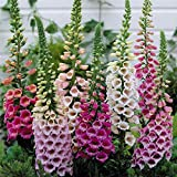 8,000 Foxglove Mix Seeds (Digitalis Purpurea) - by Seeds2Go
