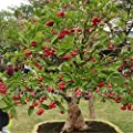 50 Pcs Wax Seeds Tropical Fruit Tree Seeds, Planting is Simple, Novel Plants for Home Garden sementes raras de frutas