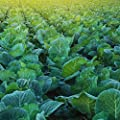Morris Heading Collards Seeds - Heirloom Micro Greens & Collard Greens Vegetable Garden Seeds by Mountain Valley Seeds