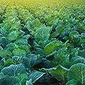 Morris Heading Collards Seeds - Heirloom Micro Greens & Collard Greens Vegetable Garden Seeds by Mountain Valley Seeds
