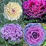 ORNAMENTAL KALE SEEDS Fall Color Brassica Oleracea Flowering Cabbage Non-Gmo