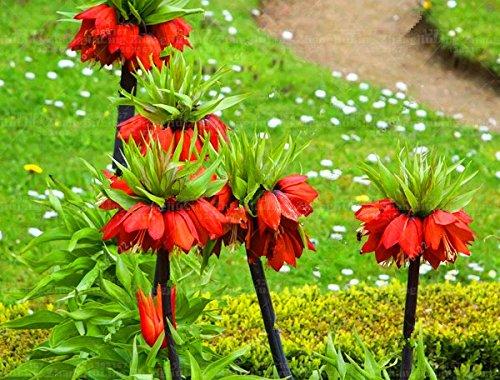 10 pcs//sac Couronne Imperial Seeds 9 couleurs fritillaire imp/ériale Graines de couverture v/ég/étale Bonsai Graines de fleurs Pot plante jardin 3
