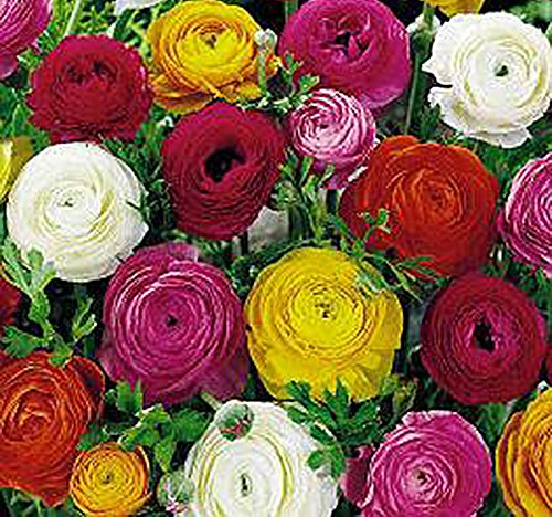 French Peony Ranunculus Mix -12 Largest Size Corms (Mix Peony)