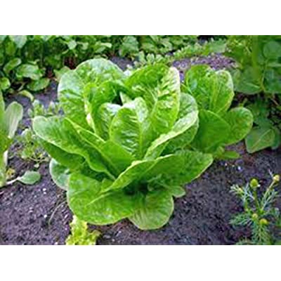 Lettuce Seed, Iceberg, Large Head, Heirloom, Non Gmo, Organic, 50+ Seeds, Garden : Garden & Outdoor