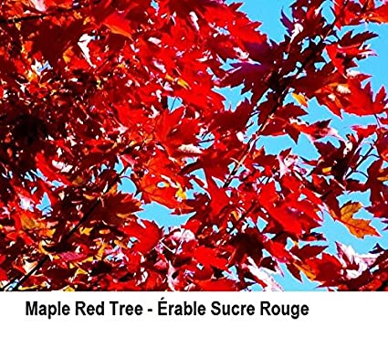 Amazoncom Red Maple Acer Rubrum Tree Seeds Fall Color Fast