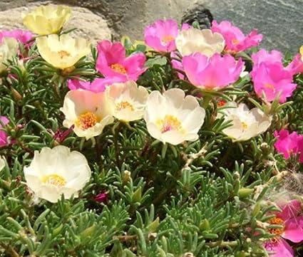 Amazon.com: Moss Rose Mix Portulaca Grandiflora - 1,250 Bulk ...