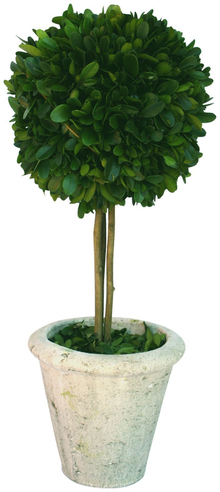 Mills Floral Company Box Topiary, Single, Large, 6'' x 16''