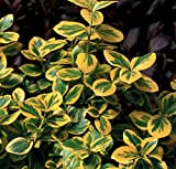 Gold Splash Wintercreeper - 4' Pot - Euonymus - Proven Winners