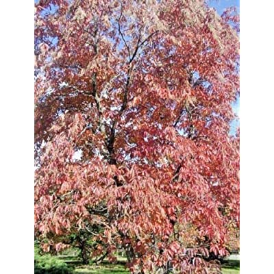 30 Sourwood or Sorrel Tree Seeds - Oxydendrum arboreum : Garden & Outdoor