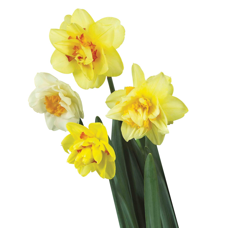 Burpee's Double Mix Daffodil - 12 Flower Bulbs | Multiple Colors | 14 - 16cm Bulb Diameter