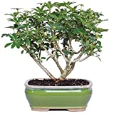 Brussel's Live Hawaiian Umbrella Indoor Bonsai Tree - 3 Years Old; 7'' to 10'' Tall with Decorative Container