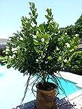 50 Seeds Clusia Rosea Major Autograph Tree Exotic Balsam Apple Cuba Native Seed