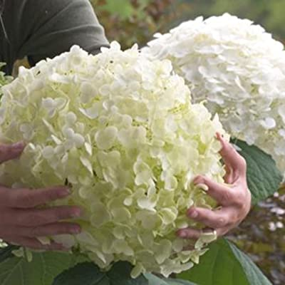 codemack Garden- 20Pcs Hydrangea Seed Bonsai Flower Seeds Plant Seeds Hydrangea Perennial Garden Home Mixed Color : Garden & Outdoor