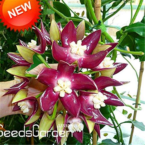 SVI Fresh 100 pcs Hoya Carnosa Flower Seeds for Planting Green Purple