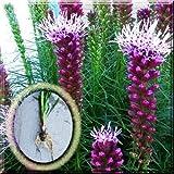 """Fresh"" Purple Blazing Star Liatris Spicata Gayfeather 1~10 Plant Large Bulb"