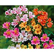 50 Alstroemeria Seeds - Mixed Colors, Perennial, and Hardy in Zones 6-11