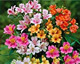 20 Alstroemeria Seeds - Mixed Colors, Perennial, and Hardy in Zones 6-11