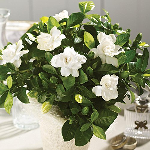 Fragrant Gardenia Plant In 6 inch Basket Great Gift! by D & S Floral