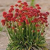 Armeria Maritima Joystick- Red- Drumstick Thrift-Good for cut flowers (25)